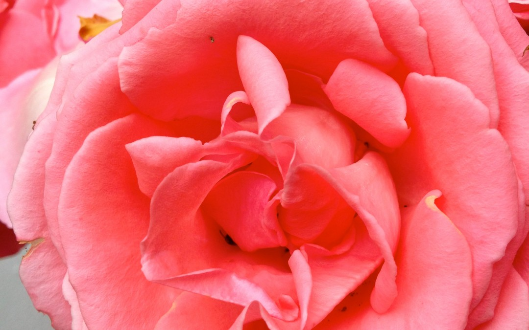 20% off all Rose Products – through July 6th, 2015